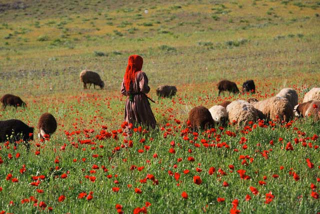 Iranian Shepherd Girl Caring for Her Flock