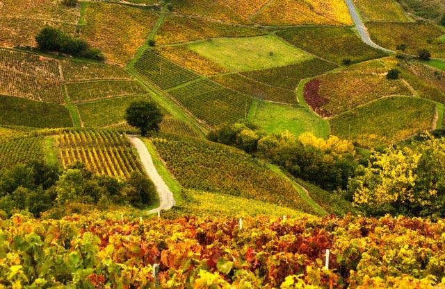 Vineyards in Beaujolais Region