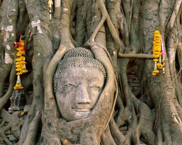 Buddha Head Surrounded by Tree Limbs