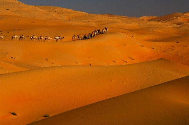 Camels in Desert Near Empty Quarter