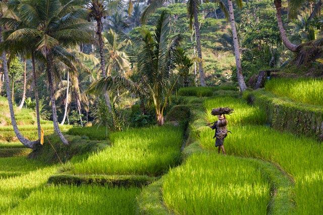 Man Walking Through Rice Paddy in Bali
