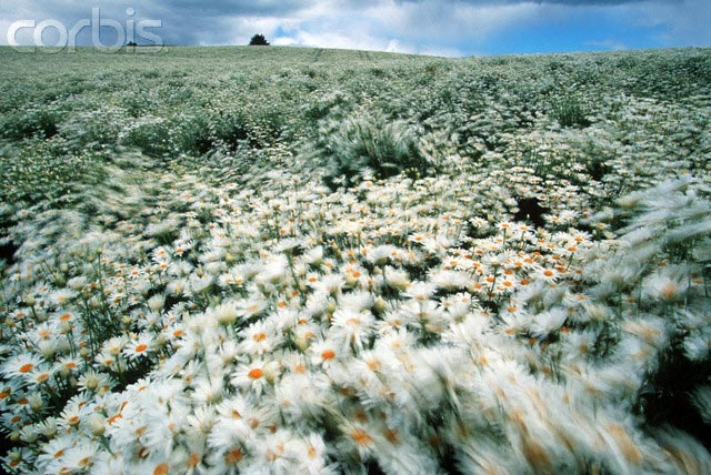 Agricultural Field of Daisies