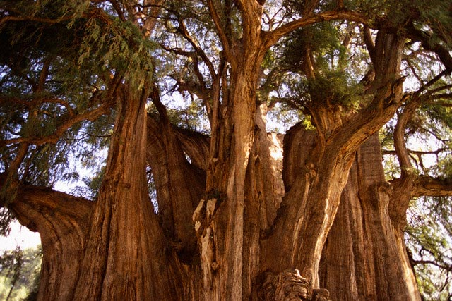 Montezuma Baldcypress Tree in Oaxaca