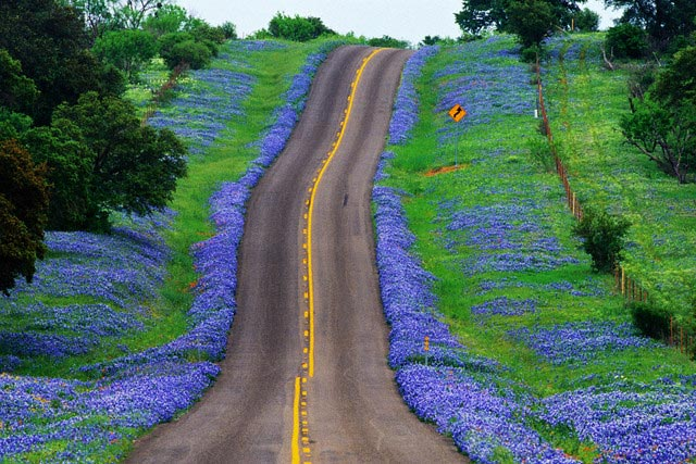 Bluebonnets Along a Highway