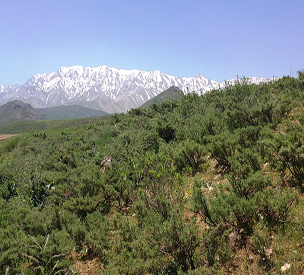 عکس دوم قالی کوه